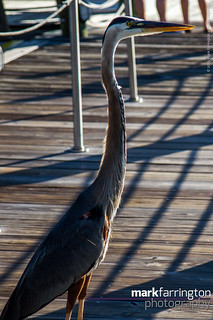 Heron on the Jetty