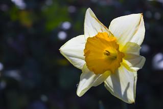 Daffodil on Titchfield...
