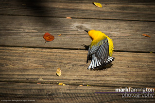 Little Yellow Bird (prothonotary...