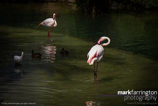 Flamingo - Disney's Animal...