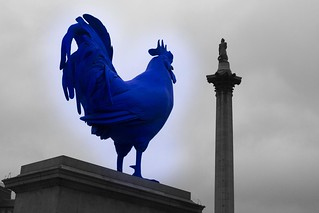 Blue Cock
