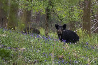 Wild Boar in the Bluebells
